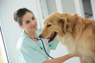 castration chien castrer
