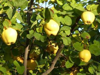 cognassier - arbre a coing