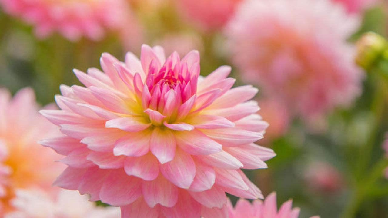 Plante A Planter En Septembre dahlia : conseils d'entretien du printemps à l'hiver
