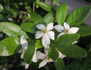 fleur choisya ternata