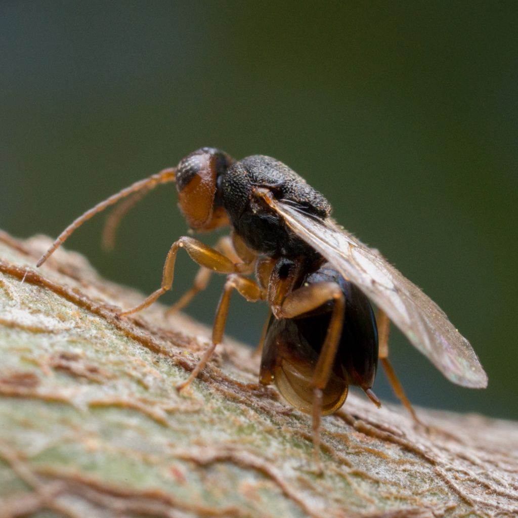 A gall wasp laying eggs on an oak twig.