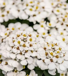 iberis fleur