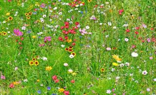 melange fleurs contre pucerons gazon fleuri