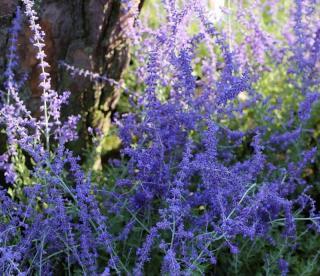 perovskia en fleur