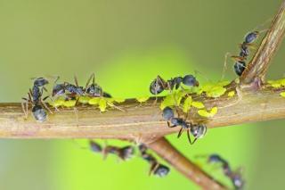 pucerons et fourmis