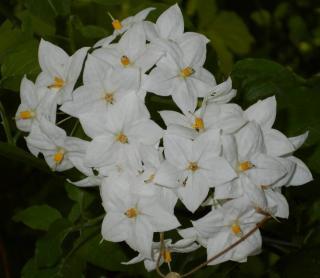 solanum fleur