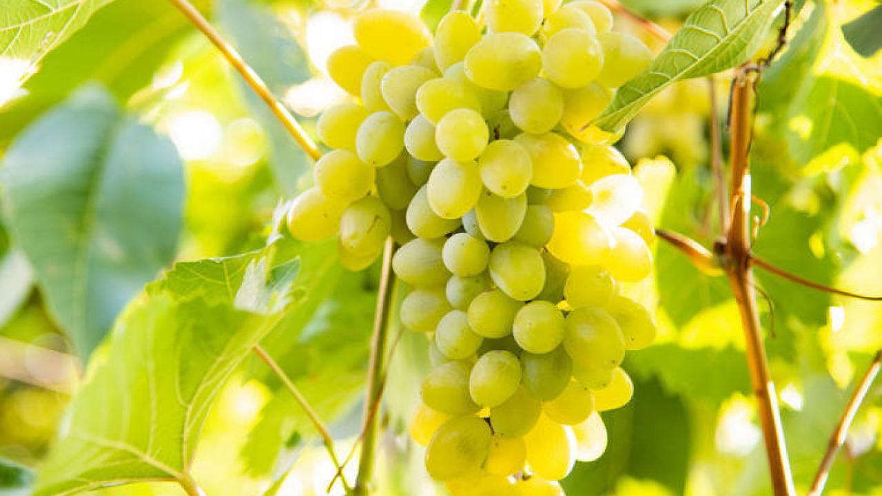 Comment Planter Une Vigne Grimpante vigne : culture, entretien et récolte du raisin