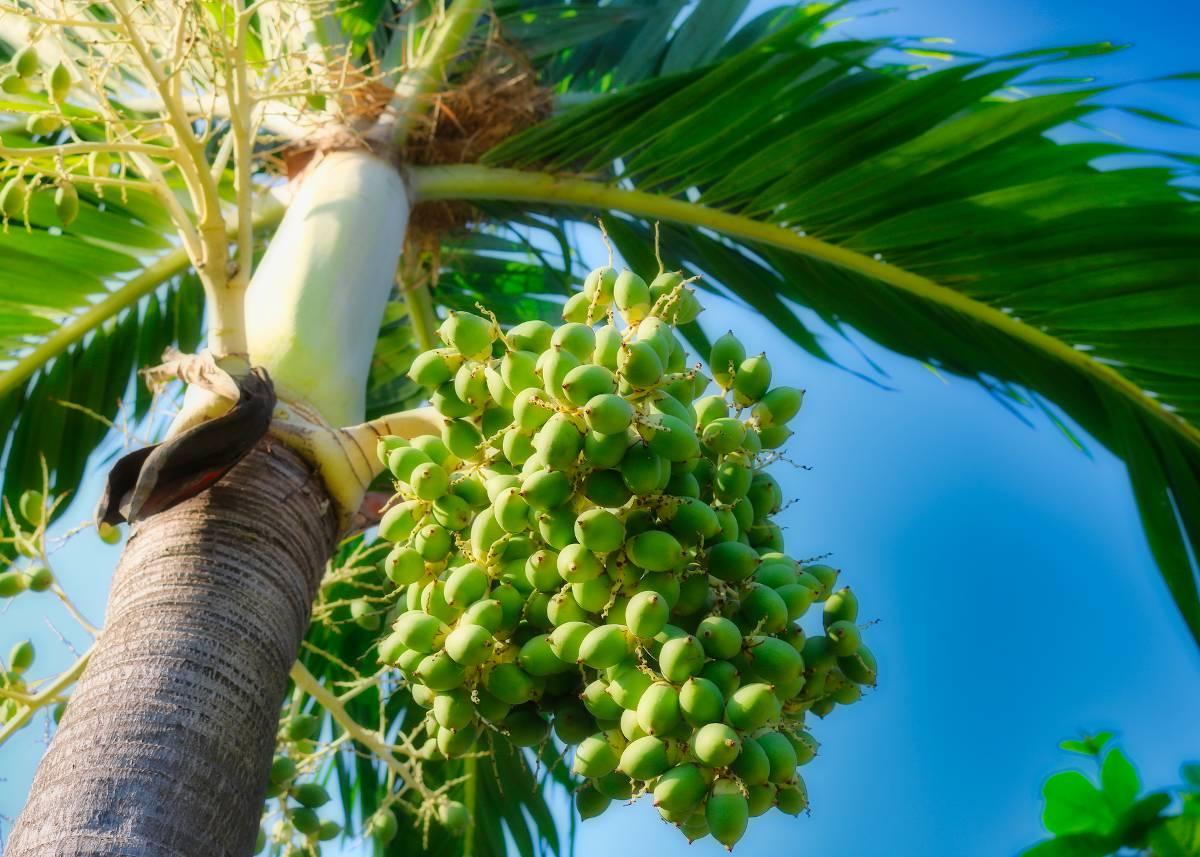 Palmier de floride bienfaits utilisation