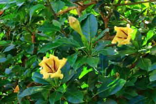 Solandra plante grimpante