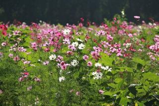 cosmos jardin naturel