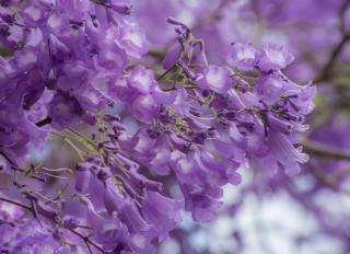 fleur de Jacaranda