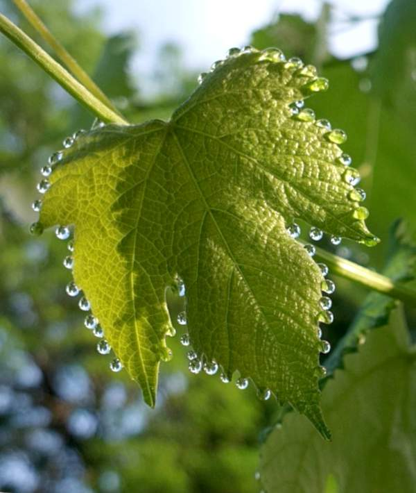 Guttation on a grape vine leaf, droplets of guttant lining the edges.