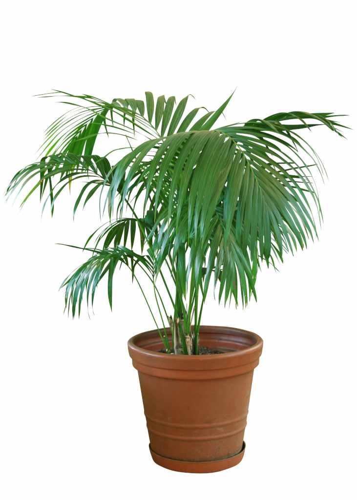 Howea, a palm that hails from afar