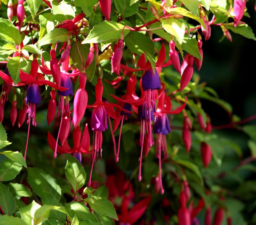 plante qui fleurit ombre