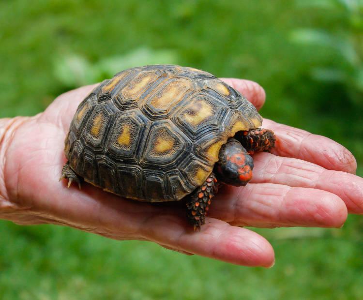 tortue de jardin terrestre