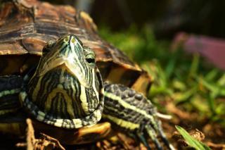 tortue jardin