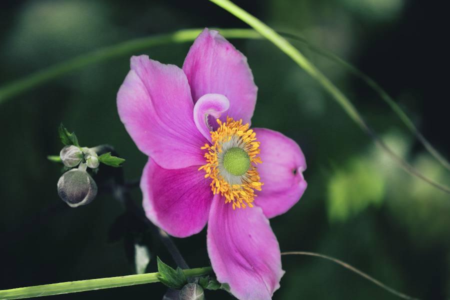 Anemone du Japon en pot - Anemone hupehensis