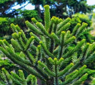Araucaria araucana - désespoir des singes - Plantation