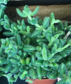 Delosperma echinatum - pickle plant