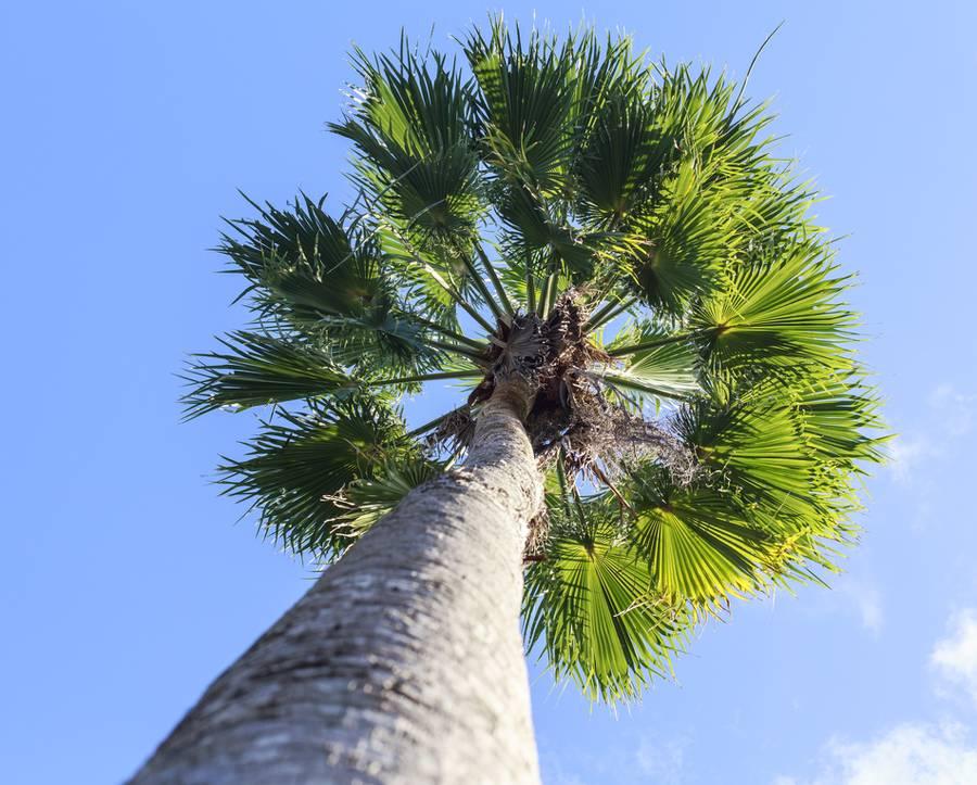 Washingtonia un palmier facile et r sistant au froid for Palmier d exterieur resistant au froid