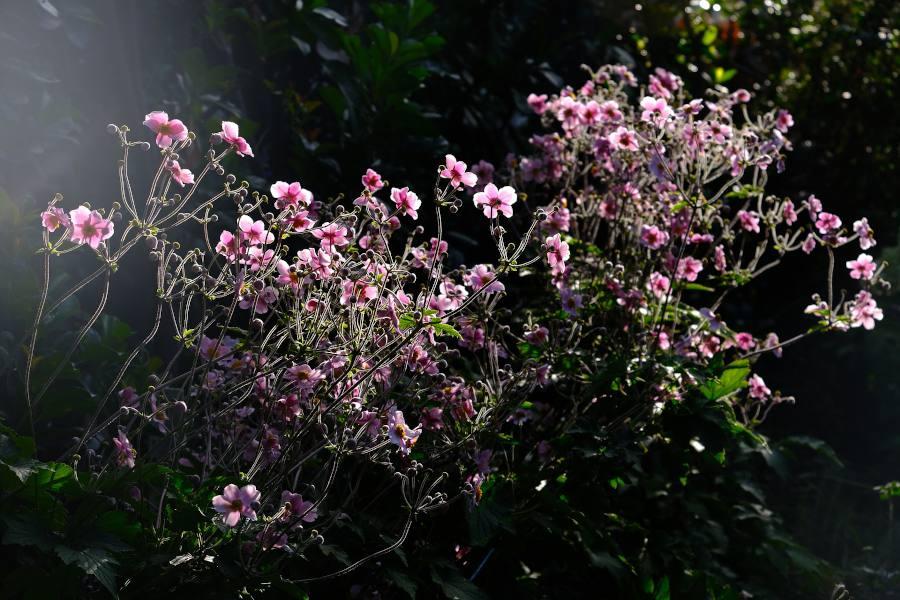 anemone japon automne