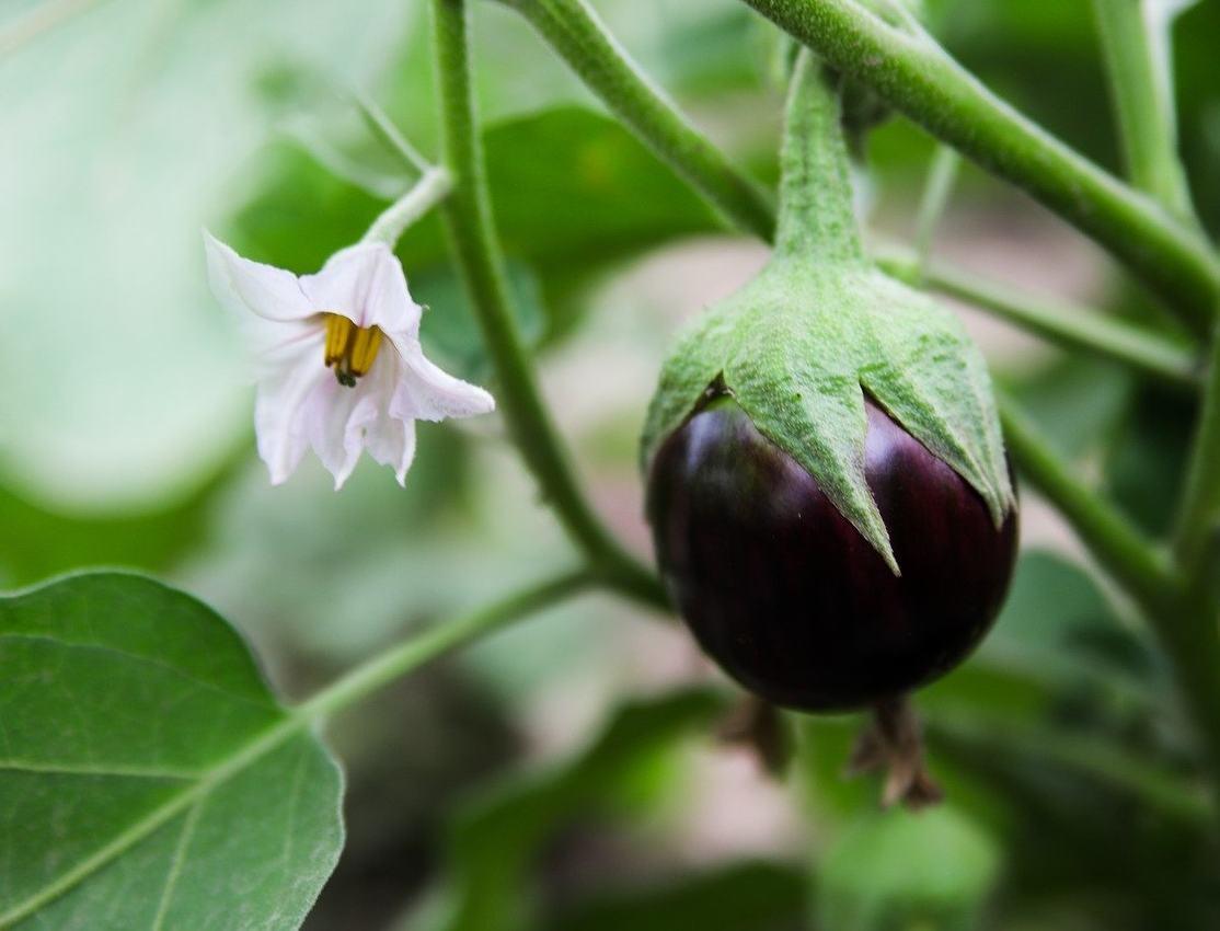 Aubergine semis culture et r colte des aubergines - Cultiver aubergine en pot ...