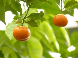 citrus mitis - oranger nain