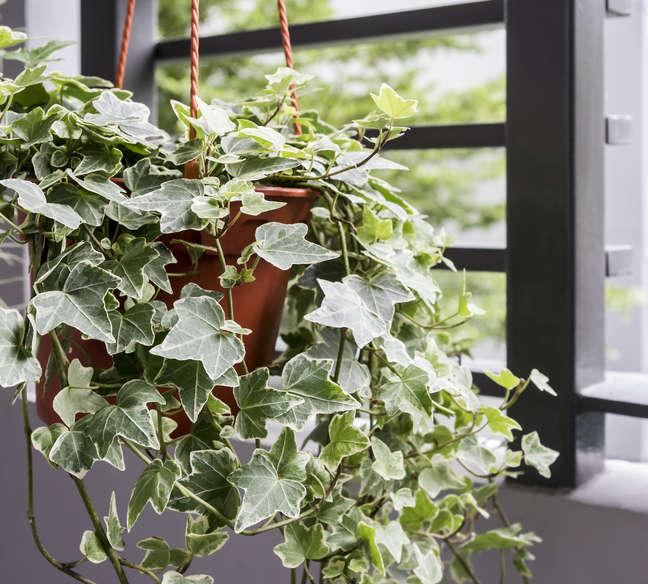 Hedera Helix panaché : un lierre d'interieur très décoratif