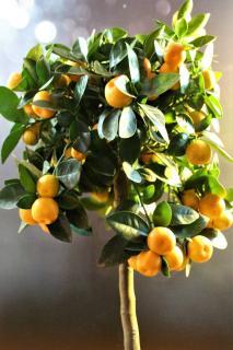 oranger citrus mitis