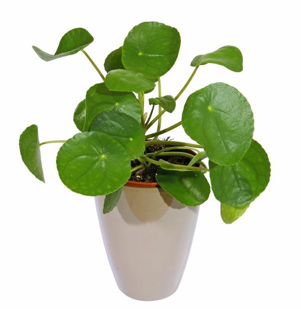 pilea plante
