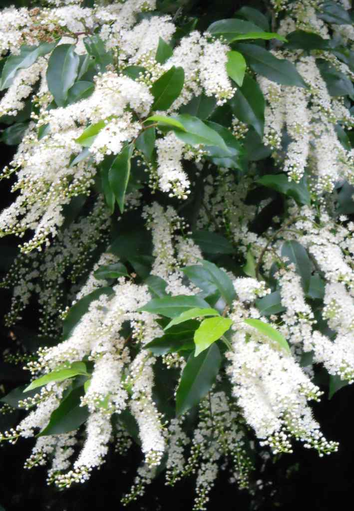 Blooming Portugal laurel, white panicles of flowers drooping from bright young green and deep brown older leaves.