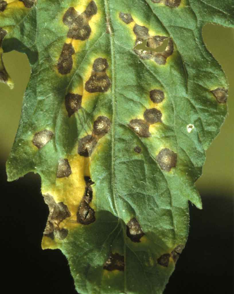 Spots of septoria infection on a tomato plant leaf.