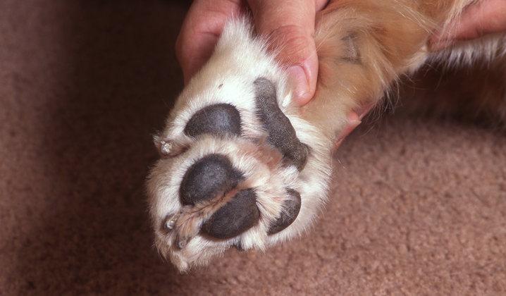 soin patte coussinet chien