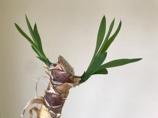 taille yucca