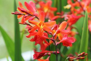 Crocosmia plante fleur