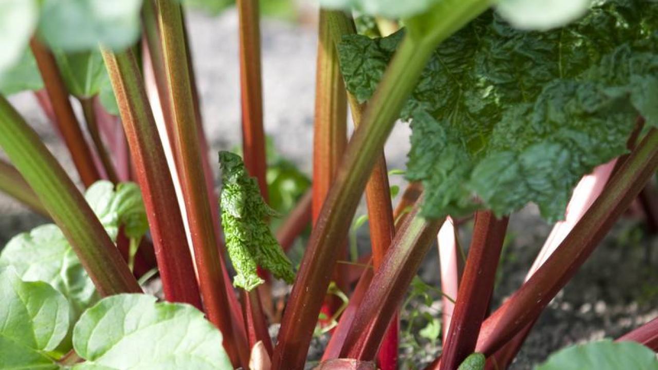 Que Faire Des Fleurs De Rhubarbe rhubarbe : plantation, culture et récolte de la rhubarbe