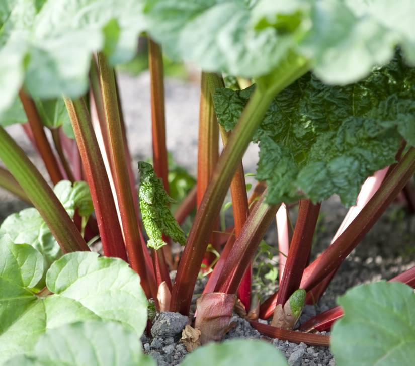 Rhubarbe : plantation, culture et récolte de la rhubarbe