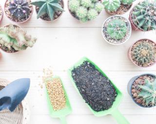 cactus entretien