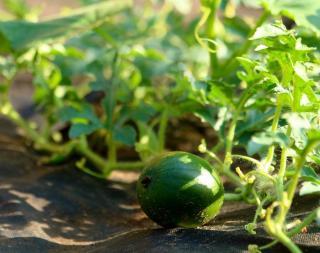 cultiver melon