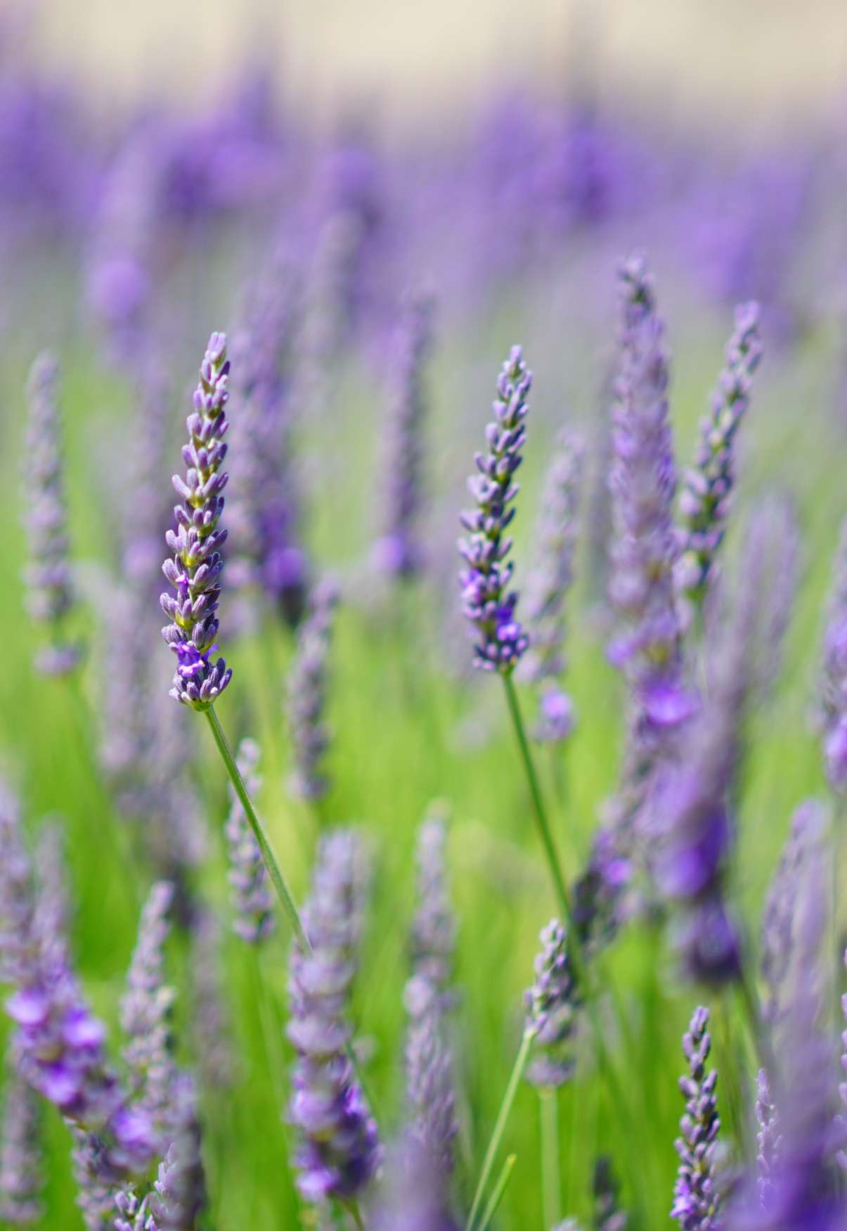 English Lavender, the queenly lavender of old