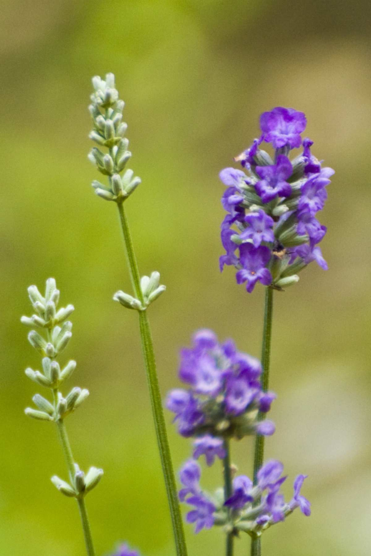 English vs French lavender