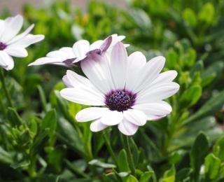 fleur Osteospermum entretien