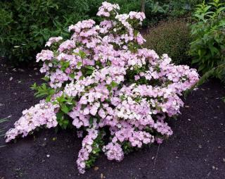 hortensia-french-bolero