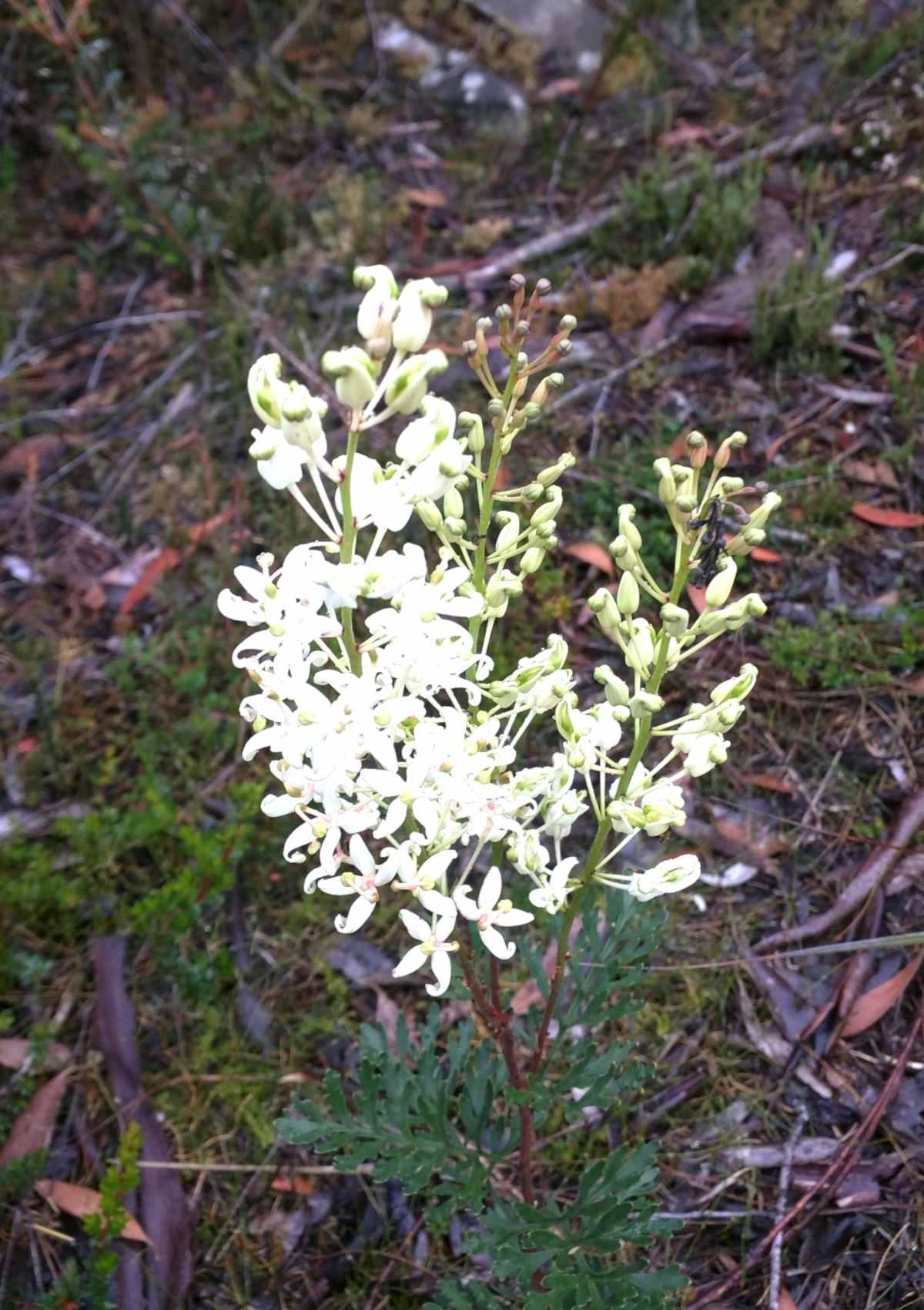 Lomatia tinctoria blooming
