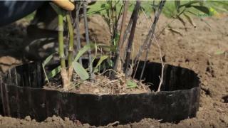 plantation bambou avec barrriere rizhome