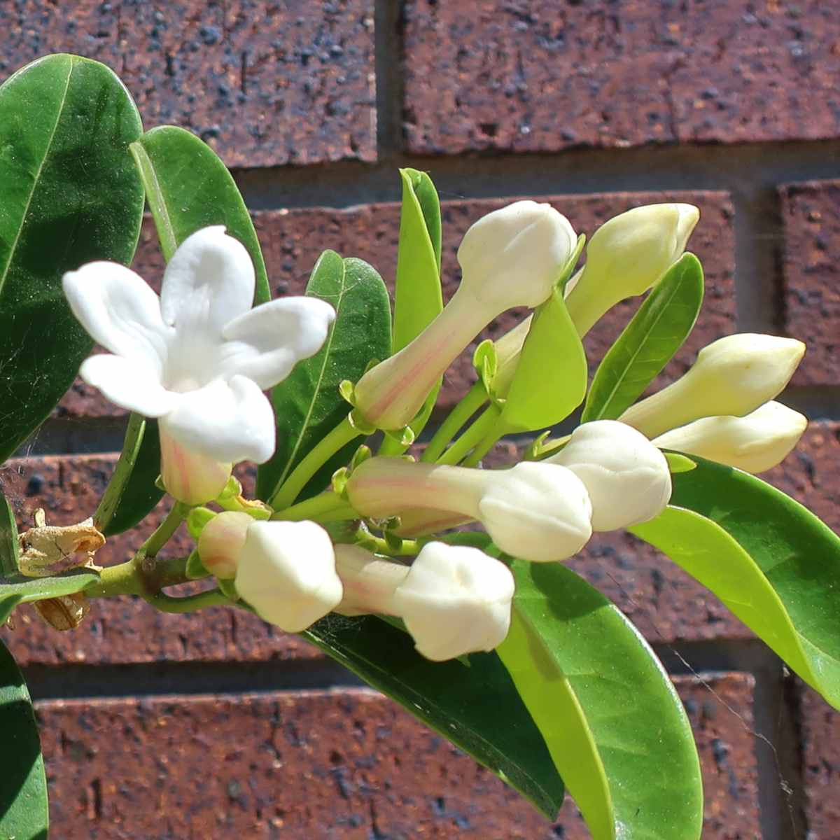 Properly pruned stephanotis blooming before a brick wall.