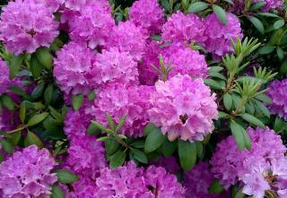 rhododendron dans un jardin