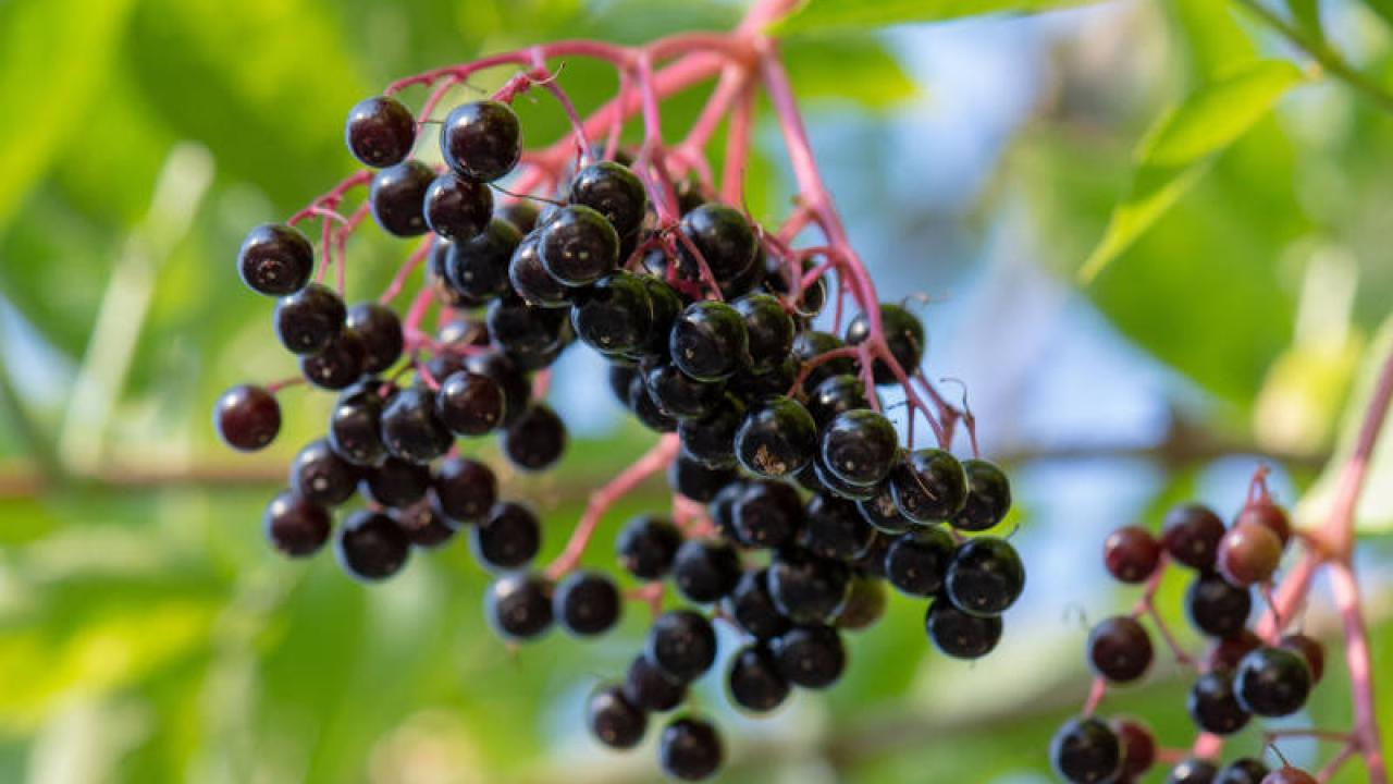 Quel Fruit Planter Au Printemps sureau noir : plantation, taille et entretien