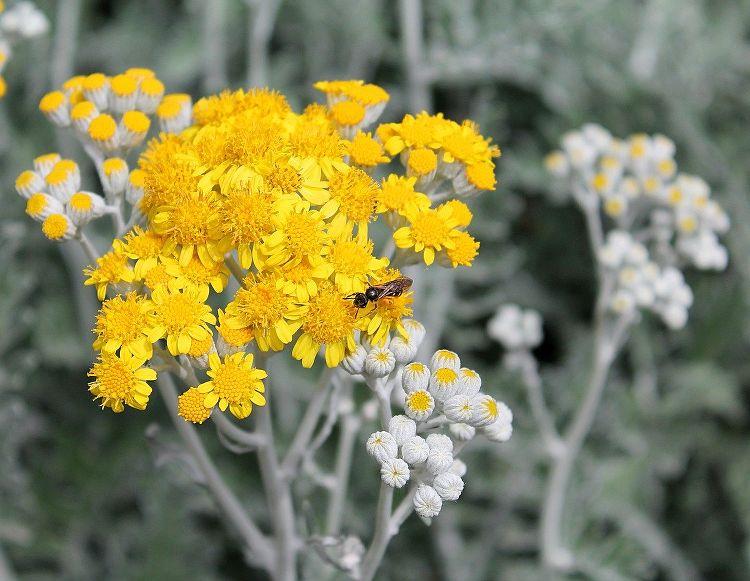 Absinthe fleur