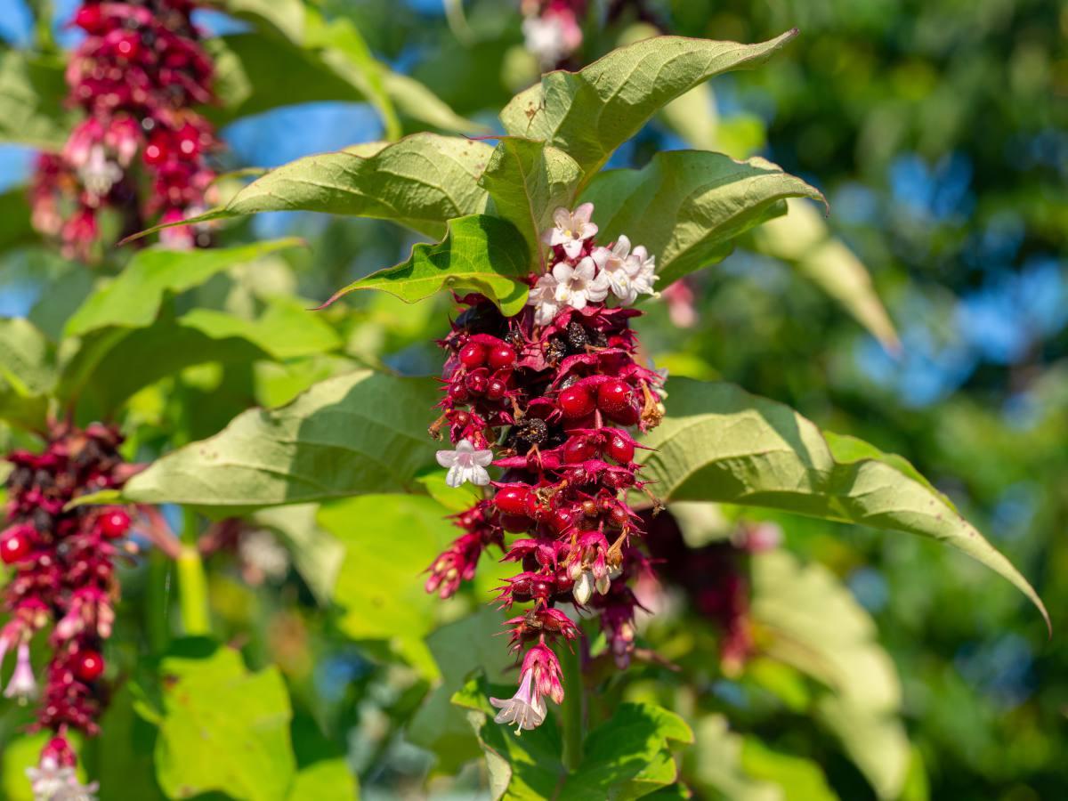 leycesterie formosa - arbre faisans